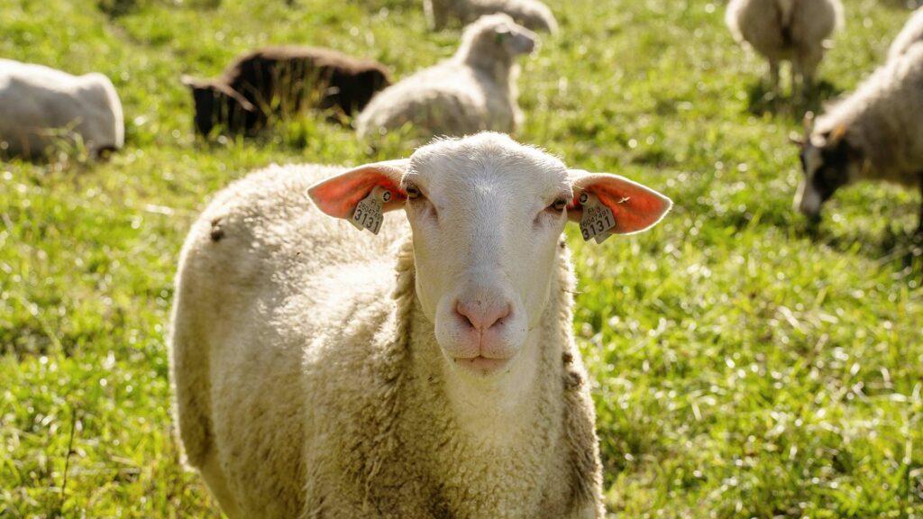 Kuvia tilan lampaista